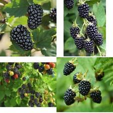 Plants Blackberry Sweetie-Pie Four Plant (4) Garden Outdoor Yard Fruit Tree New