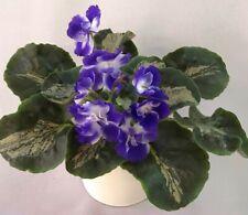 African Violet* Leaf Chimera* Harmony'S Little Stinker *  Plant!