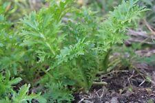 Mustard Wasabi brassica juncea 50 Seeds