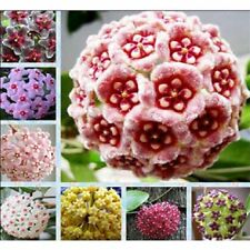 NEW 300Pcs Beautiful Mixed Color Hoya Seeds Home Garden Flower Seeds Plants
