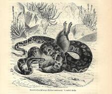 Stampa antica SERPENTI PITONE DEL NATAL Python natalensis 1891 Old antique print