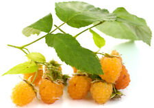Gelbe Himbeere - FALLGOLD - Pflanze Herbsthimbeere mit sehr süßen Früchten