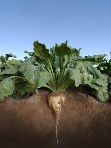 Sugar Beet (NON-GMO) Food Plot Seed - 1 Lb.
