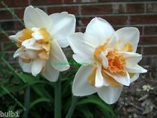 POTTED 1 LITRE DELNASHAUGH DOUBLE DAFFODIL/NARCISSUS BULBS FRAGRANT PERENNIAL