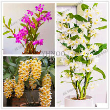 Climbing Dendrobium Orchid Seeds Plants Flower Bonsaihigh Rare 100pcs