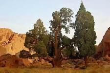 CUPRESSUS DUPREZIANA – CIPRESSO DEL SAHARA, 10 SEMI / SPECIE IN VIA D'ESTINZIONE