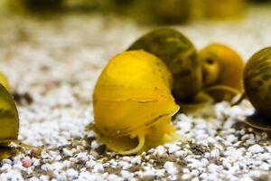 1 x Mystery Snails Mixed Colours, Pomacea bridgesii