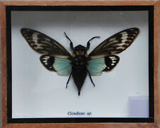 REAL EXOTIC CICADA BEETLES  FLYING FRAMED TAXIDERMY INSECT BUG GIFT