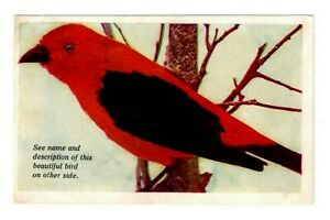 (Scarlet Tanager) 50 Magnificent Bird Pictures Circa 1928 / Addressed - UnPosted