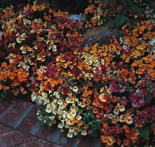 Nemesia Carnival Mix Gorgeous Color Combination 50 Fresh Seeds Free Ship!