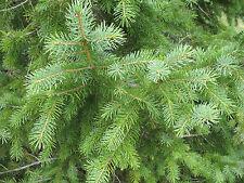 New listing Korean Spruce. 100 seeds. trees, seeds