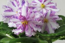 African Violet Russ Chimera* Olen'Ka *( St) Small Plant in Bloom!