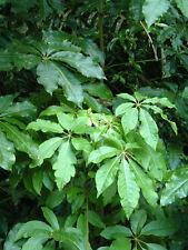 Pate - SCHEFFLERA DIGITATA - 15 Seeds - Tropicals