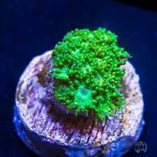 Key Lime Goniopora ~ Wysiwyg Live Coral Frag ~ World Wide Corals ~ #05