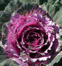 50 Seeds Dynasty Pink Flowering Cabbage Seed Garden Seeds flowering kale