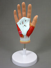 Dissected Hand Model w/ Nerves, Muscle and Tendons, Anatomical Model, NEW