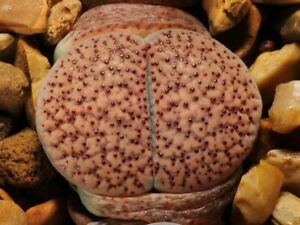 Lithops Mixture - Living Stones - 20 Seeds