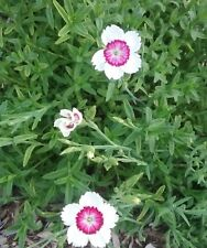 Dianthus deltoides Arctic Fire (bare rooted) perennial plant