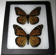 REAL MONARCH BUTTERFLY PAIR DANAUS PLEXIPPUS FRAMED BUTTERFLY INSECT
