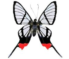 Chorinea faunus One Real Butterfly Red Clear Wing Peru Unmounted Wings Closed