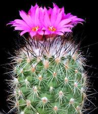 Turbinicarpus viereckii exotic flowering mexican cacti rare cactus seed 50 SEEDS
