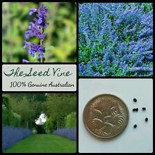 20+ PERSIAN CATMINT SEEDS (Nepeta mussinii) Purple Flowers Cat Bees Ground Cover