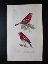 Gravure couleur 19°:oiseaux d'Europe:dans l'esprit Buffon:Bouvreuil dur-bec