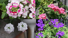 100+ Samen Verbena  - Verbenen Hybride Farben Mix