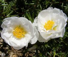 MOSS ROSE WHITE Portulaca Grandiflora - 1,250 Bulk Seeds