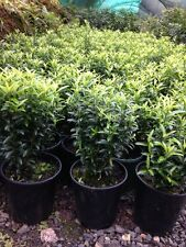TOM THUMB EUONYMUS Dwarf Garden Hedge Plant