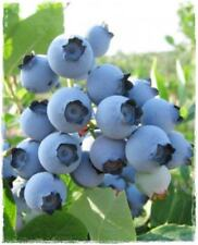 Blueberry Spartan early season variety excellent flavoured mid blue berries 9cm