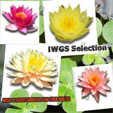 Top 4 Iwgs Award Live Hardy Water Lily Tuber Aquatic Pond Plant Garden Assorted