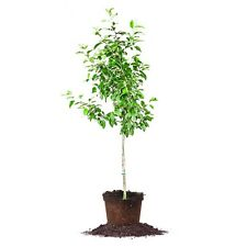 Ein Shemer Apple Tree, Live Plant, Size: 3-4 ft.