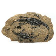 32*19cm Resin Dinosaur Fossil Specimen Jurassic Twin Dinosaurs for Home Decor