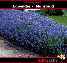 Lavender Munstead 100 Seeds Minimum Garden Flower Plant. Highly Scented.