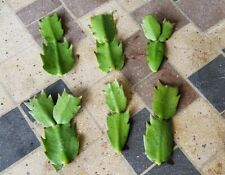 6 Fresh Cuttings of Christmas Cactus of mixed-colors