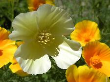 Kalifornischer Elfenbein Mohn 100 Samen Eschscholzia Californica