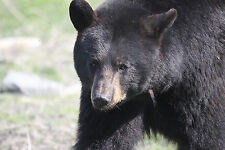 Black Bear - Volume 2 Taxidermy Reference Photo Cd