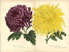 Stampa antica botanica CRISANTEMO CHRYSANTHEMUM due fiori 1880 Antique print