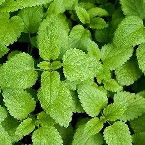 Lemon Balm Seeds   Herb Garden Vegetable Organic Non GMO Basil Mint Seed 2021
