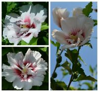 "#RoseofSharon Hibiscus Syriacus, variété ""Starburst Chiffon"" 15 seeds"