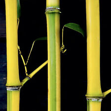 5-PACK Ornamental COLD HARDY 'Spectabilis' Running Bamboo Rhizome Privacy Wall