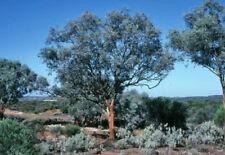 Silver Gimlet (Eucalyptus campaspe) 50 Fresh Seeds