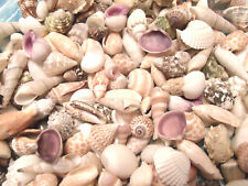 SEASHELL MIX Shell Crafts Vase Filler Spiral Conch Purple Clams Green Turbo Cone