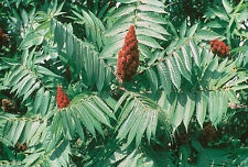 Staghorn Sumac Tree Rhus typhina - Live Tree Permaculture 1 Gal Size