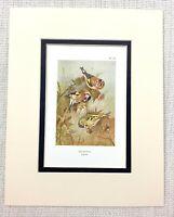 Vintage Uccello Stampa Thorburn's Cardellino Siskin Ornitologia Circa 1929