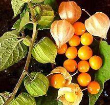 500 Giant Poha Cape Gooseberry Seeds Physalis peruviana Ground Cherry