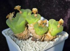 100 Seeds Conophytum longitubum MG 1797.18 living stones