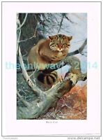 WILD CAT, BOOK ILLUSTRATION (PRINT), LYDEKKER, c1916