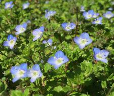 SPEEDWELL CREEPING BLUE Veronica Repens - 500 Bulk Seeds